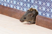 Mice Infestation - Pest Control In Caufield