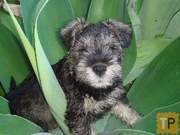 Mini Schnauzer Pups